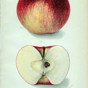 #245 Carson Apple, 1905