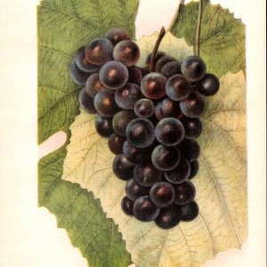 #246 Headlight Grape, 1903