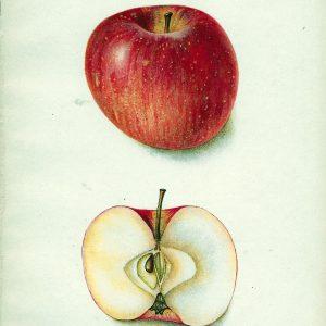 #253 Terry Apple, 1903