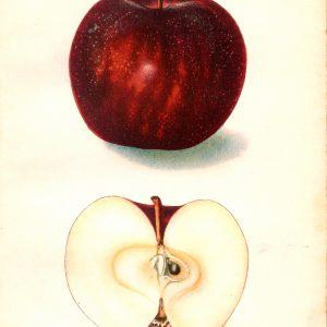 #255 Magnate Apple, 1906