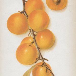 Vintage Fruit, Vegetable & Nut Prints