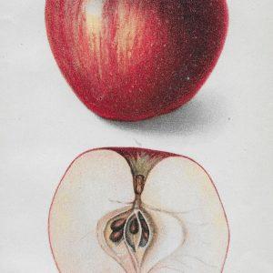 #3887 Coffman Apple, 1909