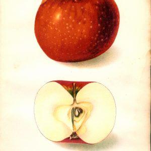 #452 Oliver Red Apple, 1906