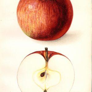 #455 Eastman Apple, 1912